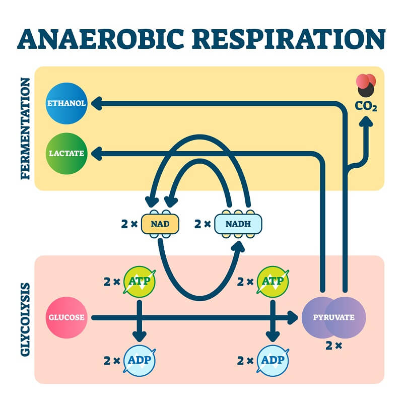 Anaerobic Respiration The Definitive Guide Biology Dictionary