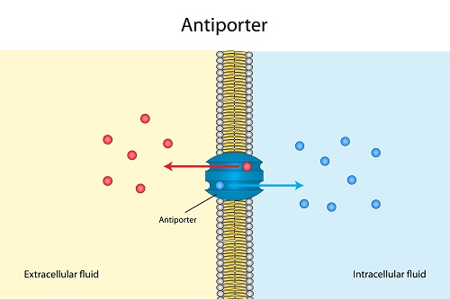 Antiport pumps as an example of active transport