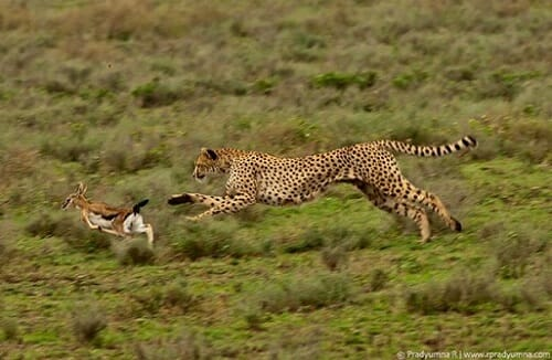 Predation Definition Types And Examples Biology Dictionary