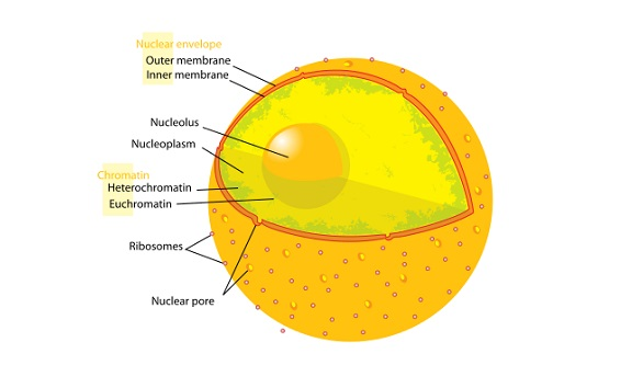 Nuclear Membrane  Nuclear Envelope