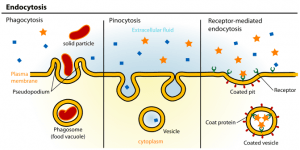 Endocytosis types