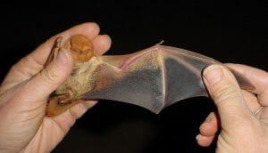 Lasiurus blossevillii wing