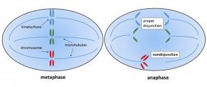 Mitotic nondisjunction