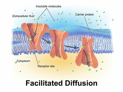 Molecules undergo facilitated diffusion