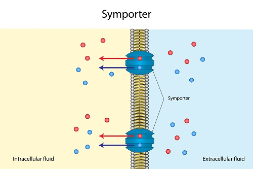 Sympoter pump as an example of active transport