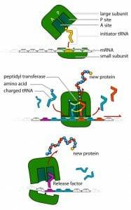 TRNA ribosomes diagram
