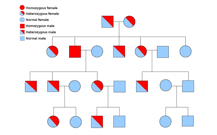 Pedigree Definition Function And Examples Biology