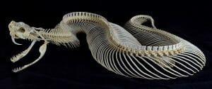 Bitis gabonica skeleton