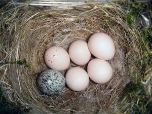 Brown headed Cowbird egg