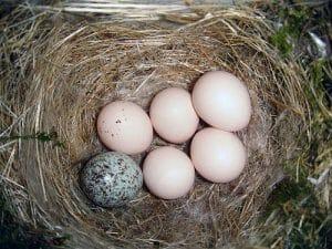 Brown headed Cowbird egg