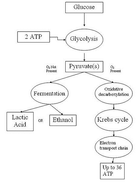 Cellular respiration definition equation steps products and purpose cellular respiration ccuart Gallery