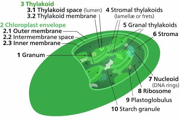 Stroma