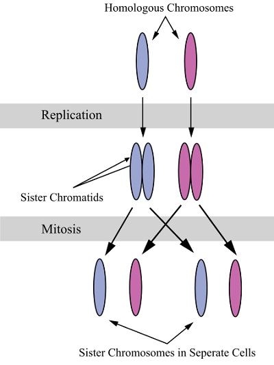 Sister Chromatids Definition Functions And Structure Biology