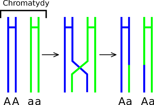 Genetic Recombination - Definition, Types and Examples