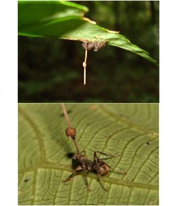 Dead ants infected with Ophiocordyceps unilateralis