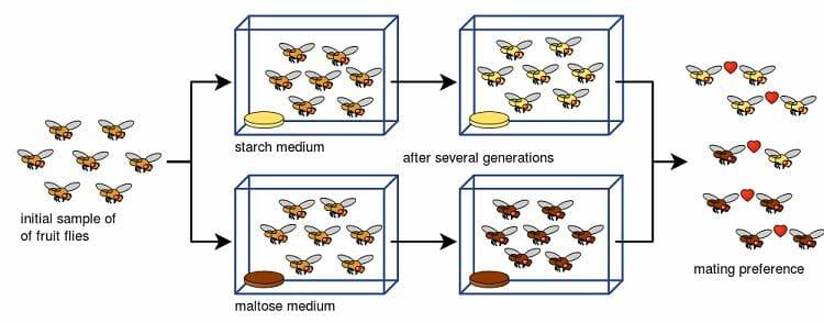 Drosophila speciation experiment