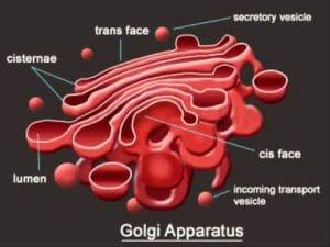 Golgi apparatus structure
