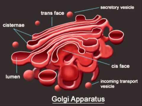ultrastructure of golgi complex