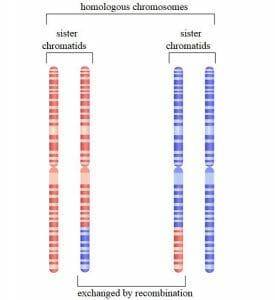 Homologous chromosome pairs