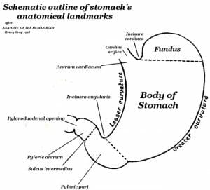 Human Stomach schematic external anatomy