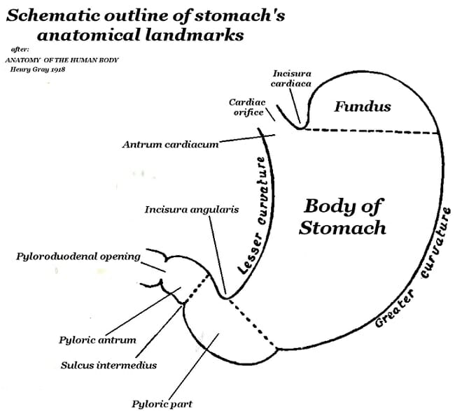 Pyloric sphincter definition and function biology dictionary human stomach schematic external anatomy ccuart Gallery