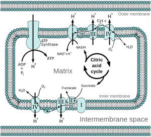 Mitochondrial electron transport chain - Etc4
