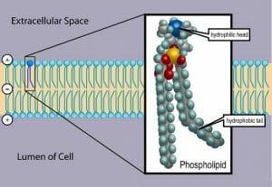 Phospholipid TvanBrussel