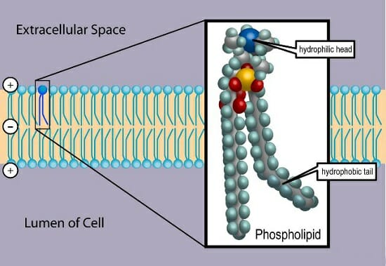 Phospholipid  Definition  Structure  Function