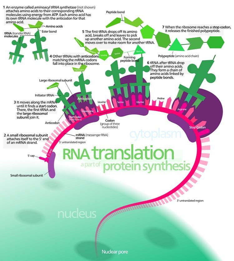 Translation - Biology Definition of Translation | Biology