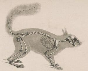 Red squirrel skeleton