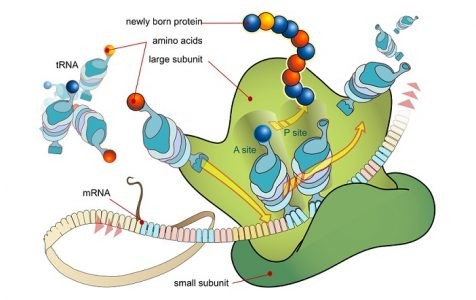 Ribosome mRNA translation