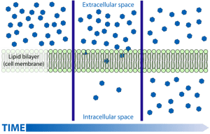 Scheme simple diffusion in cell membrane