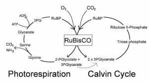 Simplified Calvin Cycle diagram