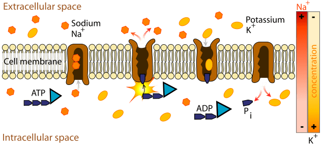Carrier Protein - Definition, Function and Examples | Biology Dictionary