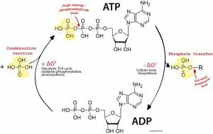ADP ATP cycle