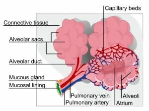 Alveolus diagram