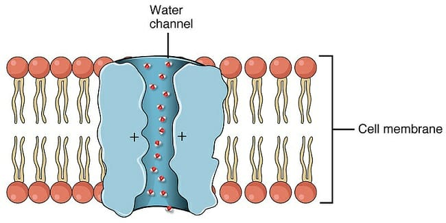 if red blood cells are placed in distilled water