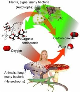 Auto and heterotrophs