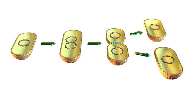 Binary Fission - the process of replicating DNA and separating it into new cells - is how a prokaryotic cell reproduces.