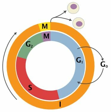 Interphase Definition And Stages Biology Dictionary