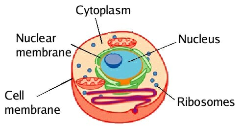 Protoplasm definition and function biology dictionary the fact that its liquid also means that substances can travel within a cell and be transported to other cells easily ccuart Images