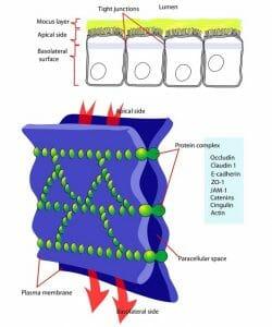 Cellular tight junction