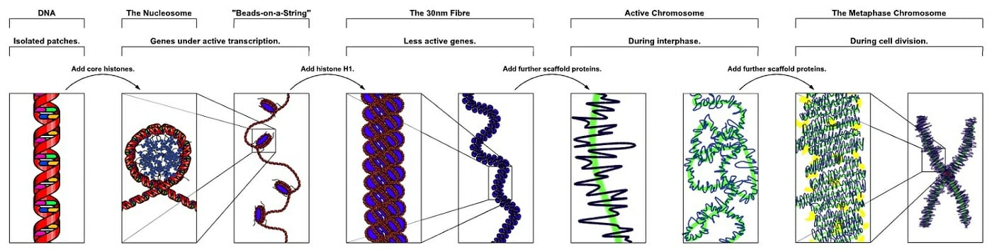 Chromosome Definition Structure Function And Examples Biology