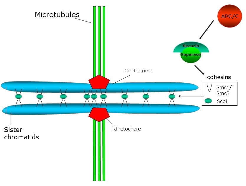 Separation of chromatid pairs occurs during asexual reproduction