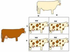 Co-dominance in Roan Cattle