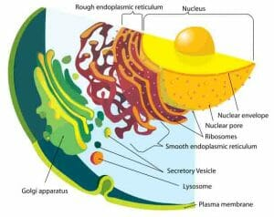 Endomembrane system diagram