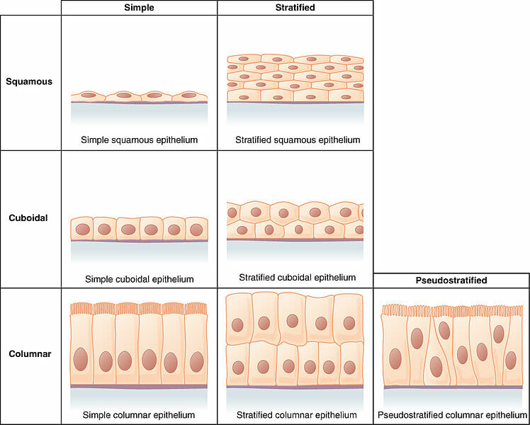 Epithelial Tissue Definition Types Function Examples Of
