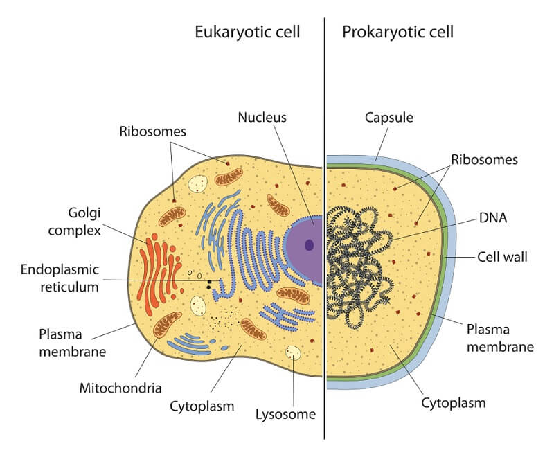 Compared to prokaryotic cells, eukaryotic cells are much more complex and have many membrane-bound organelles.