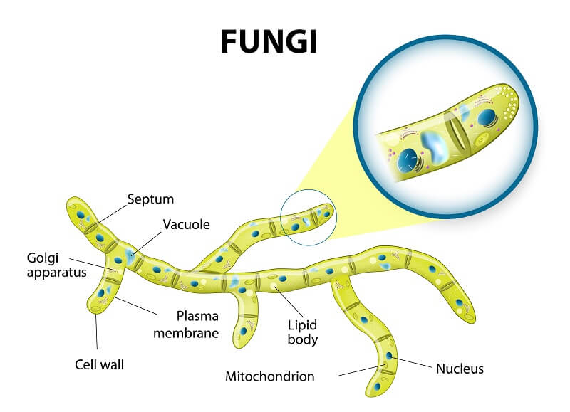Fungal cells often have holes between cells called septa that allow the cytoplasm to flow freely between cells.
