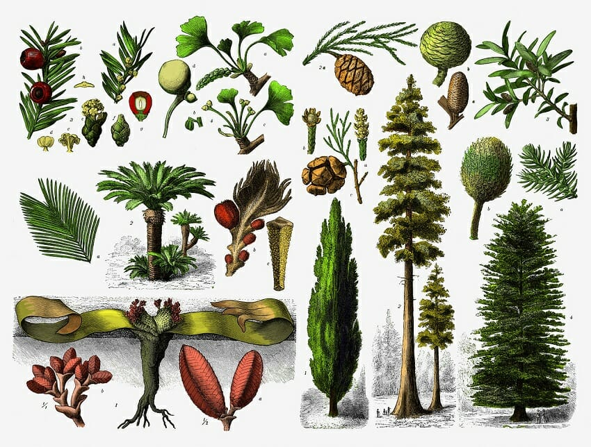Gymnosperm Definition Examples And Life Cycle Biology Dictionary